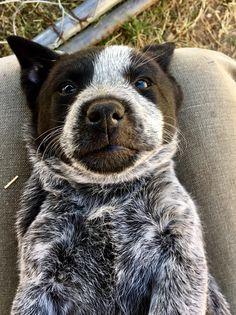 What a face! : AustralianCattleDog