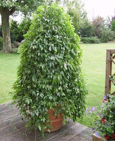 viburnum plicatum mariesii garden pinterest shrub. Black Bedroom Furniture Sets. Home Design Ideas
