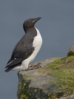 Uria lomvia - nurzyk polarny - Brunnich's Guillemot/Thick-billed Murre