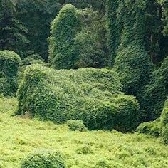 It's a way to pass the time on steamy, languid summer days: Taking pictures of the kudzu, demon vine, foot-a-day vine, the vine that ate the south....