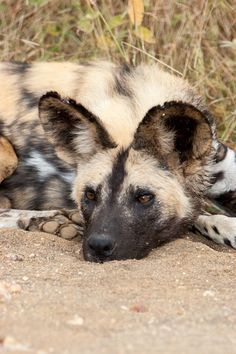 African Wild Dog taken in Kruger National Park in South Africa. They're usually quite hard to find so we were very happy that we found some that day.