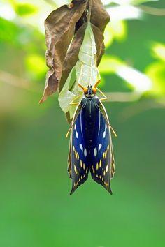 Great purple emperor(Sasakia charonda)オオムラサキ