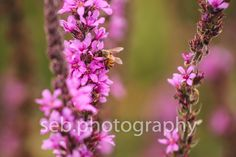 purple flowers... and a bee! - SEBPhotography