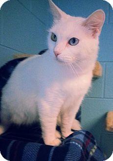 Prattville, AL - Domestic Shorthair. Meet Snowbell 21647, a cat for adoption. http://www.adoptapet.com/pet/12144833-prattville-alabama-cat