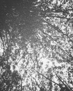 Kauri canopy #blackandwhite #kauri #waitakereranges #Waitakere #aucklandnz #lookingup #newzealand #auckland