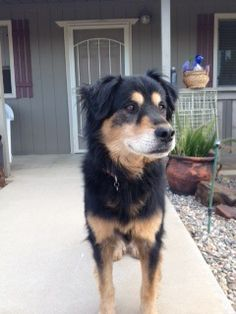 Found Dog - Rottweilermix in SUN CITY, CA  Pet Name:unknown (ID# 61631) Gender:Male Breed:Rottweiler Breed 2:Golden Retriever Color:Black Color 2:Tan/Cream Pet Size:Large (40-75lbs) Pet Age:Approx. 5 Date Found:07/05/2014 Zip Code:92585 (SUN CITY