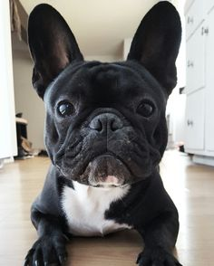 Ninja, the French Bulldog, @frenchie_ninja Instagram