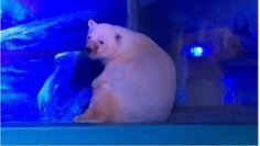 Lo llaman el oso polar más triste del mundo por estar enloqueciendo al interior de un centro comercial