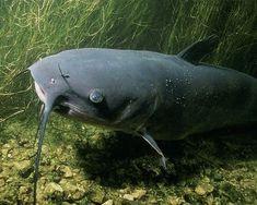 Catfish Live Catfish Fishing Tips
