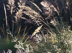 Late afternoon light cast a magical spell over Muhlenbergia emersleyii.