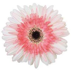 Pretty in Pink Gerbera Daisy Flower - 20 Gerber Daisies