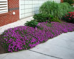 Photo - Delosperma, hardy ice plant, provides fantastic ground cover in highly reflective areas - Low maintenance perennial plants for twenty-first century landscapes - Gardening Examiner | Examiner.com