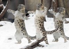 Snow Leopard - Cats Among Cats Baby Animals, Funny Animals, Cute Animals, Beautiful Cats, Animals Beautiful, Big Cats Art, Animal Action, Cat Attack, Jungle Cat