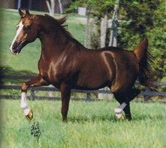 *Muscat (SalonxMalpia)1971-96. 4th leading producer of Arabs all-time considered leading progenitor of Naseem sire line. Over 100 int'l ch sons of *Muscat grace the world's most recognized breeding programs;1980: *Muscat was 1st stallion ever named US N'l Ch, Canadian N'l Ch and Scottsdale Ch all in the same yr. his offspring have been highly valued in recognition of his beauty, athleticism, & elegance demonstrated w/correct conformation, long neck, elegant balance trot. A:2lines