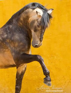 Proud Lusitano Stallion