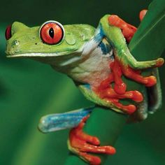 The quintessential red-eyed tree frog.. #costarica #nature