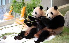 仲良くプレゼントを頬張る双子のジャイアントパンダ(11日、和歌山県白浜町で)