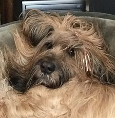 Chou Chou is not happy with the blow dryer after her bath. briard-adventures.com