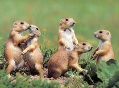 prairie dogs, forever my favorite animal.