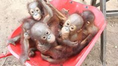 """The International Animal Rescue organization recently opened an orangutan """"pre-school"""" in Borneo where orphaned baby orangutans learn to climb, socialize and live among their peers without the threat of poaching or habitat destruction. Could there be anything cuter? The answer- no."""
