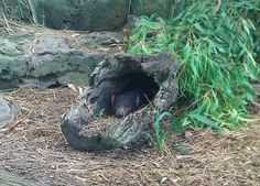 I spy with my little eye... a Tassie Devil!  Looks like Sumae has settled into his new home at Melbourne Zoo.  You can come see him in the Australian Journey section, but you may need to look closely, as he is sometimes hard to spot!