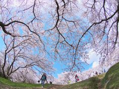 Sakura by Kaz Watanabe on Japan Sakura, Romania, Cherry Blossom, Explore, Cherry Blossoms, Exploring