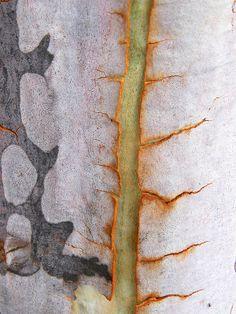 Some scars are so beautiful. / Certaines cicatrices sont si belles.  / Kahlwerk. / Eucalyptus bark. / Ecorce d'Eucalyptus.