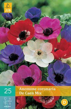 Cibuľoviny, Veternica, Anemone coronaria De Cean Mix