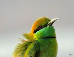 The Green Bee Eater bird (Merops orientalis) (sometimes Little Green Bee-eater) is resident but prone to seasonal movements and is found widely distributed across sub-Saharan Africa from Senegal and The Gambia to Ethiopia, the Nile valley, western Arabia and Asia through India to Vietnam. They are mainly insect eaters and they are found in grassland, thin scrub and forest often quite far from water. Several regional plumage variations are known and several subspecies have been named.