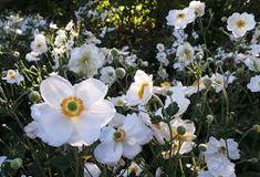 anemone hanarine jobert - Google Search Google Search, Plants, Flora, Plant, Planting