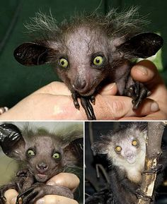 """""""The Aye-aye is one of the world's most rare and bizarre looking primates.""""  Awwww..."""