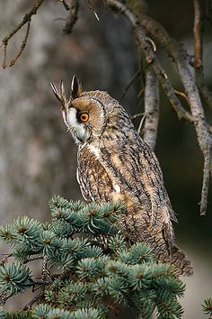 Long-Eared Owl Pictures, great pictures of long-eared owls in nature Owl Photos, Owl Pictures, Owl Bird, Pet Birds, Nocturne, Owl Species, Nocturnal Birds, Long Eared Owl, Nature