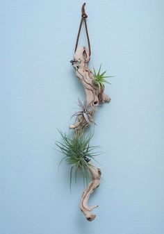 plant and drifts wood display, this would be a great gift idea , a wonderfull ZAFrium :))
