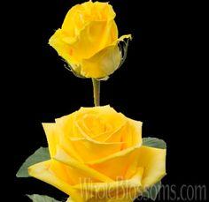 Mohana - Yellow Rose