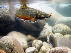 Brookie on fly royal wulff ate by houstonryan, via Flickr