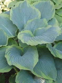 Hosta 'Eclipse' (Dean 2010)  Size: large -- upright form, large attractive gold-margined leaves --  http://www.hostachoicegardens.com/   $25