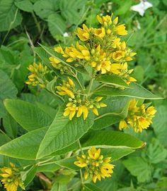 Lysimachia vulgaris - yellow loosetrife