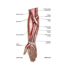 Stocktrek Images Stretched Canvas Art - Anatomy of human forearm muscles, superficial anterior view. - Large 22 x 38 inch Wall Art Decor Size. Muscle Anatomy, Body Anatomy, Anatomy Study, Human Anatomy, Infraspinatus Muscle, Forearm Muscles, Compound Exercises, Human Body Parts, Reflexology