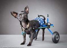 Pets With Disabilities Project : Animal Planet    Inky is a Chihuahua that was rescued from a hoarder. Despite his early abuse he is incredibly good-natured and loving, and is even used as a therapy dog. Photographer Carli Davidson