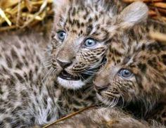 chinese leopard cubs