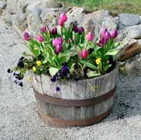 Tulips in whiskey barrel