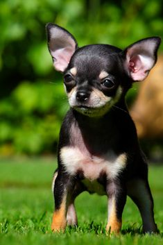 Puppy in the summer garden Chihuahua Breeders, Chihuahua Facts, Chihuahua Puppies For Sale, Cute Chihuahua, Chihuahuas, Puppies Near Me, Baby Animals, Cute Animals, Really Cute Puppies