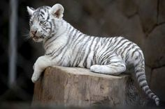 white tigers cubs