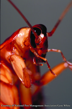 American Roaches Control Facts Information