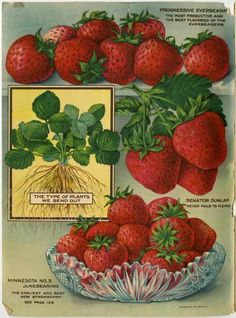 Strawberry lovers unite!  This unusual color page of strawberry varieties is just inside the front cover of the 1920 Farmer Seed & Nursery catalog and is designed to promote the healthful condition of the strawberry transplants they send to their customers.  Farmer Seed & Nursery originated in Faribault, MN in 1888; a collection of their vintage catalogs are found at Andersen Horticultural Library.