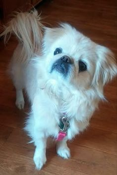 Pita is a 1-2 yr old female pekingese looking for a home. She seems to be a very sweet girl who gets along great with other dogs, does well on car rides and seems to have good house manners. We have discovered she loves to sit in the recliner and...