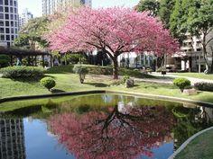 """Praça do Japão com a arvore simbolo """"Cerejeira"""". Curitiba/Paraná"""