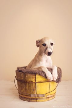 whippet puppy | photo by britt woodall
