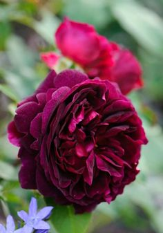 Rosa Munstead Wood ('Ausbernard') - Richly coloured, many-petalled, cup-shaped flowers, that have a wonderfully fruity fragrance, form on this bushy shrub rose throughout the summer.
