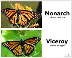 The monarch is toxic, the viceroy is non-toxic. Predators cannot tell the difference between the two and therefore avoid both. http://networkofideas.wordpress.com/2010/11/01/the-monarch-butterfly-vs-the-viceroy/